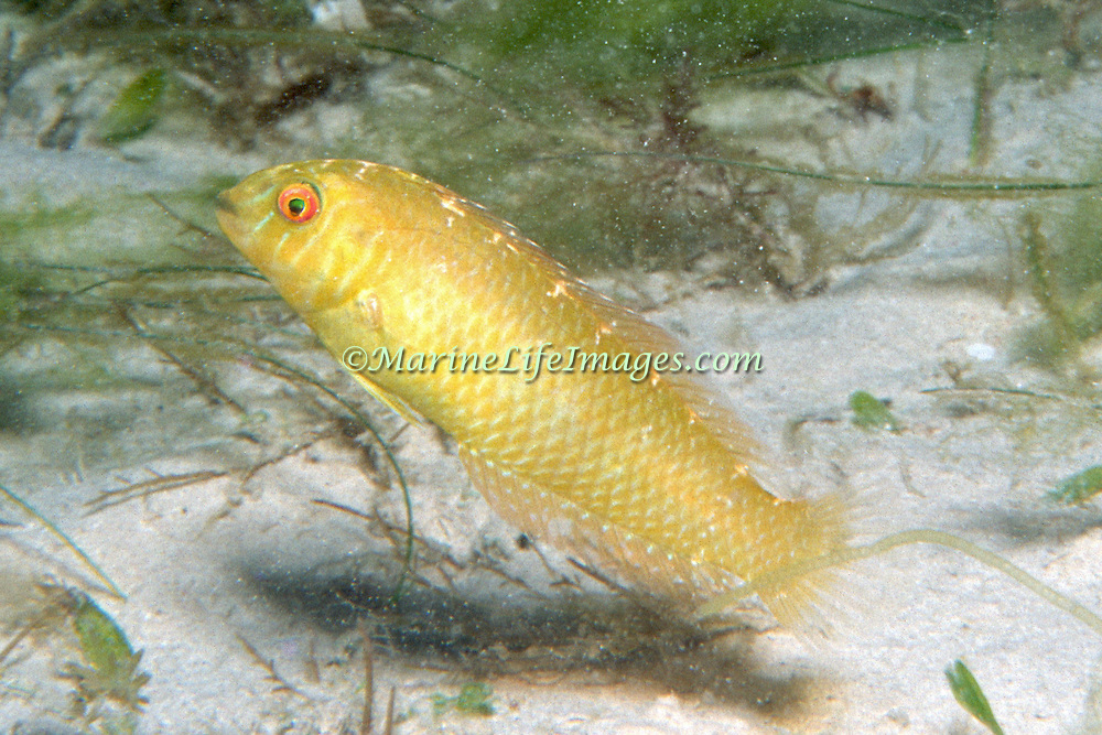 Green Razorfish inhabit shallow areas of sand and rubble in Tropical West Atlantic; picture taken Barbados.