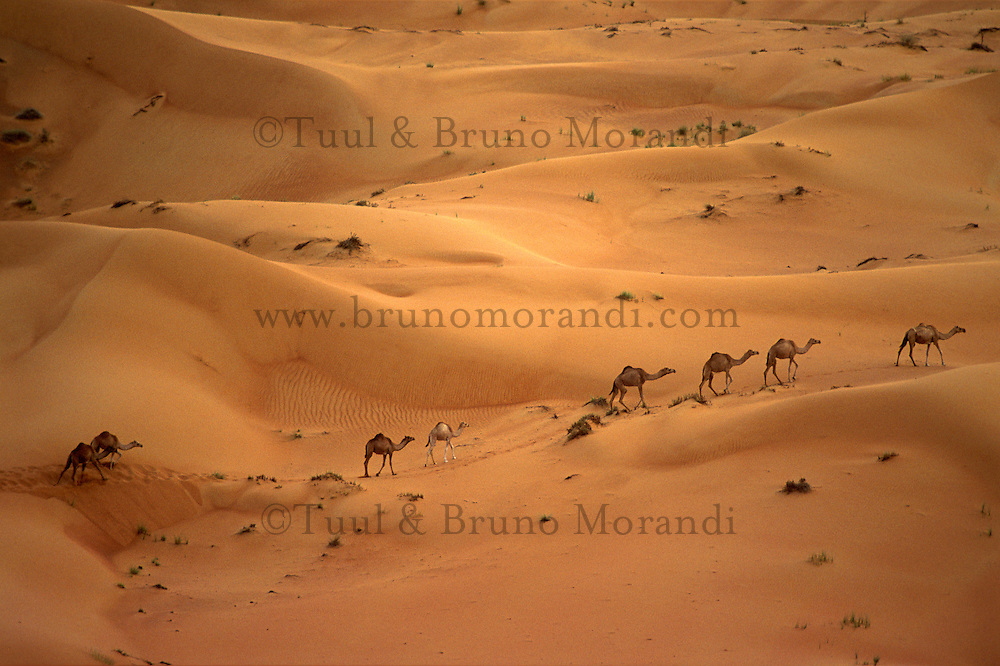 Emirats Arabe Unis. Emirat de Dubai. Desert. // United Arab Emirates. Dubai Emirate.  Desert.