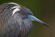 Stock photo of tri-colored heron captured in Florida.  This bird is built for marsh life.  Long legs and toes enable it to wade and churn up prey in the water.
