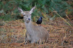 © Licensed to London News Pictures. 04/10/2017. London, UK.  A doe rests while a raven sits on its back. Red deer take part in the annual rut in Richmond Park, which occurs during October and November.  Photo credit : Stephen Chung/LNP