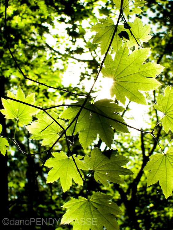 Sunlight peaks through green maple leaves in the springtime