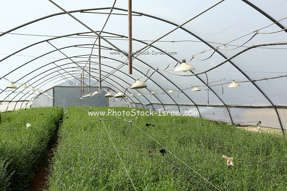 Organic farming. green herbs (Rosemary, Rosmarinus officinalis) grow in a hothouse