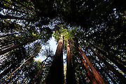 A view looking up from the trail through Muir Woods outside of San Francisco, California