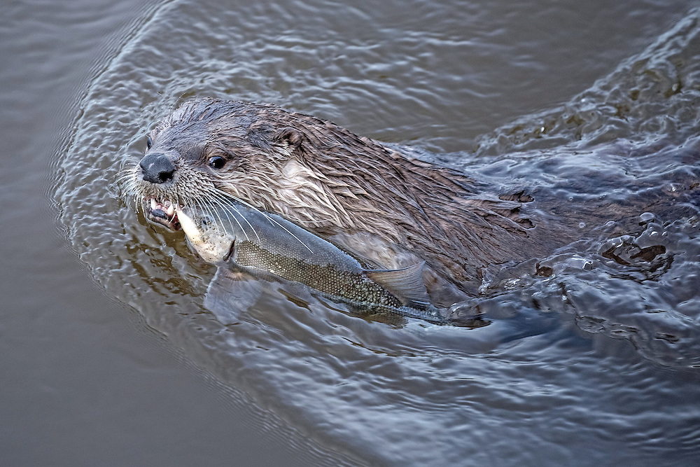 Avid hunters, this river otter landed a long-nosed sucker for his breakfast, one of the exotic species that reside in the murky waters of Pelican Creek.