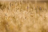 Dew covered wild grasses in foggy mountain meadow are backlit at sunrise, creating a bright golden pattern, Yellowstone National Park, WY, © 2005 David A. Ponton