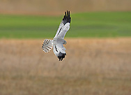 Montagu's Harrier - Circus pygargus - male. Wingspan 100-115cm. Graceful raptor with slow, buoyant flight. Adult male has mainly blue-grey with a smaller white rump than male Hen Harrier. Note black wingtips, single dark bar on upperwing, two dark bars on underwings, chestnut barring on underwings coverts and streaked belly. Adult female is pale brown with darker barring on wings and tail, streaking on underparts, and narrow white rump. Juvenile recalls an adult female but underparts and underwing coverts are orange-red and unstreaked. Voice – mainly silent. Status and habitat - A summer visitor to Britain, present May-September. A few pairs breed each year in arable farmland and on heathland.