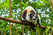 The black-and-white ruffed lemur (Varecia variegata) is a Critically Endangered species of lemur endemic to the island of Madagascar