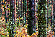 During Autumn the pine forests of Geres National Park gain new colors as the ferns that carpet the forest turn orange and reddish brown, contrasting with the mossy trunks
