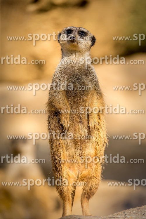 01.04.2016, Zoo, Duisburg, GER, Tiere im Zoo, im Bild Erdmaennchen haelt stehend Wache, // during visit to the Zoo. Duisburg, Germany on 2016/04/01. EXPA Pictures &copy; 2016, PhotoCredit: EXPA/ Eibner-Pressefoto/ Hommes<br /> <br /> *****ATTENTION - OUT of GER*****