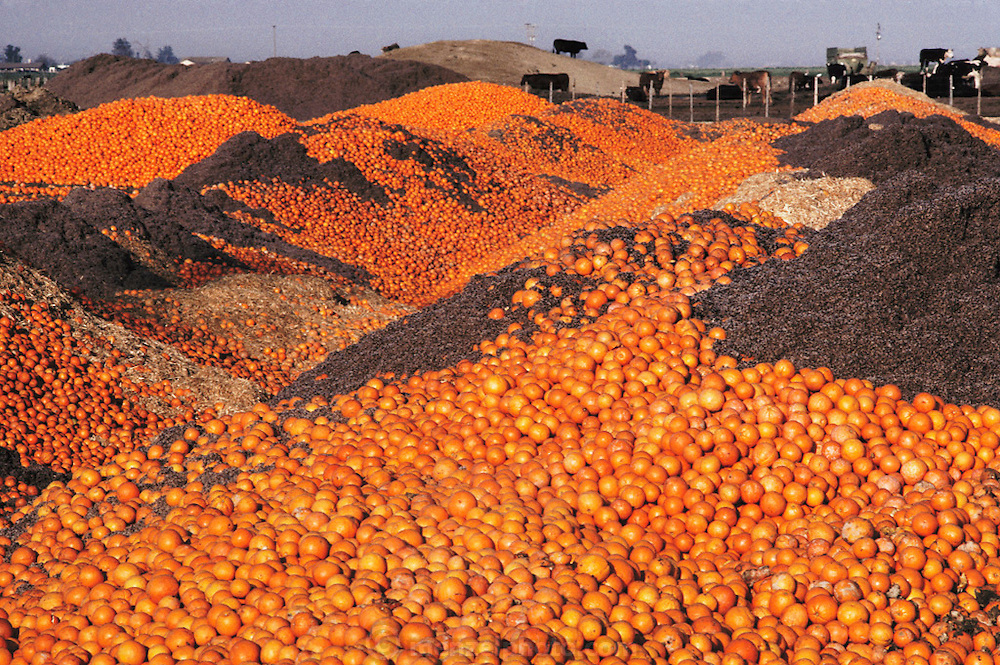 Surplus oranges fed to cattle by H and E Cattle Feed Company near Bakersfield, California, USA.