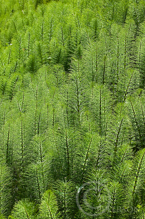 horsetail grass in field