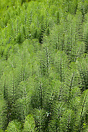 horsetail grass in field
