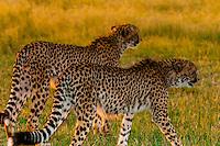 Cheetahs, near Kwara Camp, Okavango Delta, Botswana.