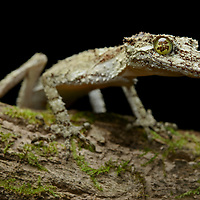 Northern Leaf-tailed Gecko (Saltuarius cornutus). Queensland, Australia.