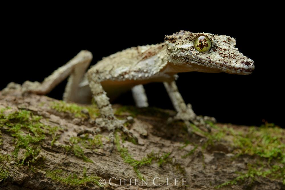 Northern Leaf-tailed Gecko (Saltuarius cornutus). Queensland, Australia.
