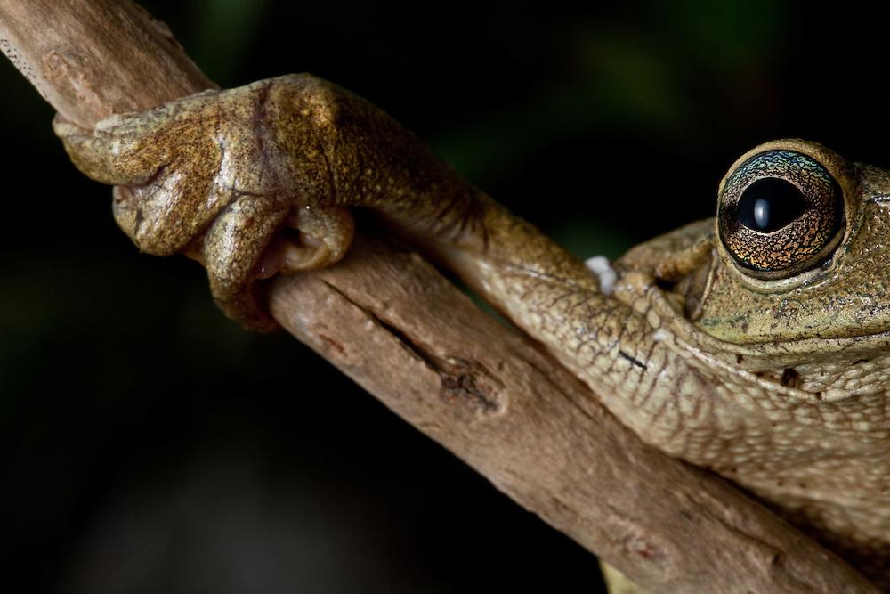 Hispaniola laughing frog, Osteopilus dominicensis, in Macaya Biosphere Reserve on the Massif de la Hotte, Haiti
