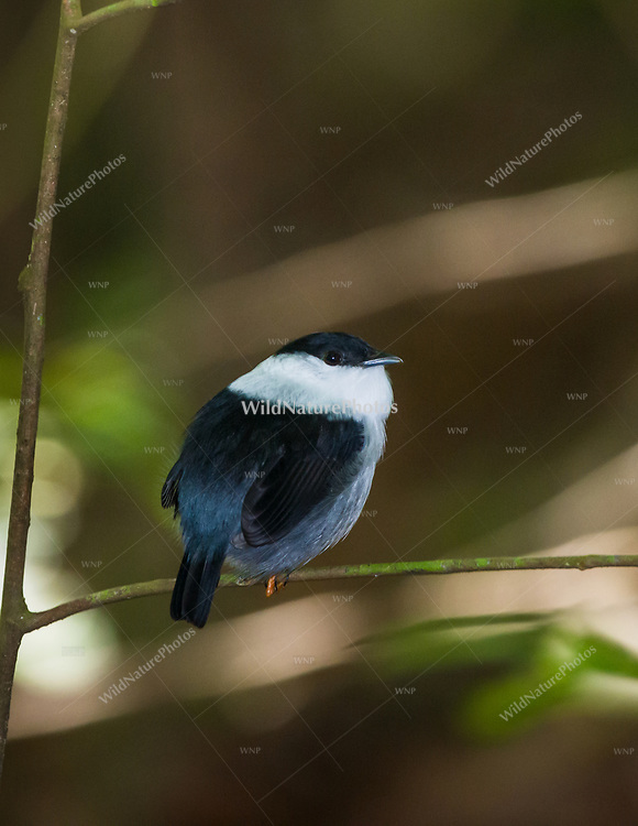 White-bearded Manakin (Manacus manacus trinitatis) perched, calling on his lek. (Trinidad)