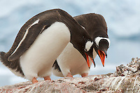 Gentoo Penguin (Pygoscelis papua) behavior in Neko Harbor, Andvord Bay.