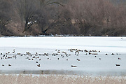 Northern Pintail, American Wigeon, Gadwall, Green-winged Teal, Redhead, Ring-necked Duck, Lesser Scaup, Canvasback, Shiawassee River, Saginaw County, Michigan