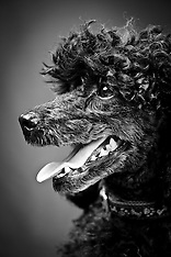 Lucky - Miniature Poodle