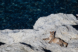 A puma cub (Puma con color) also known as a mountain lion or cougar,  laying down on a lakeside stromolite rock, Torres del Paine, Chile, South America