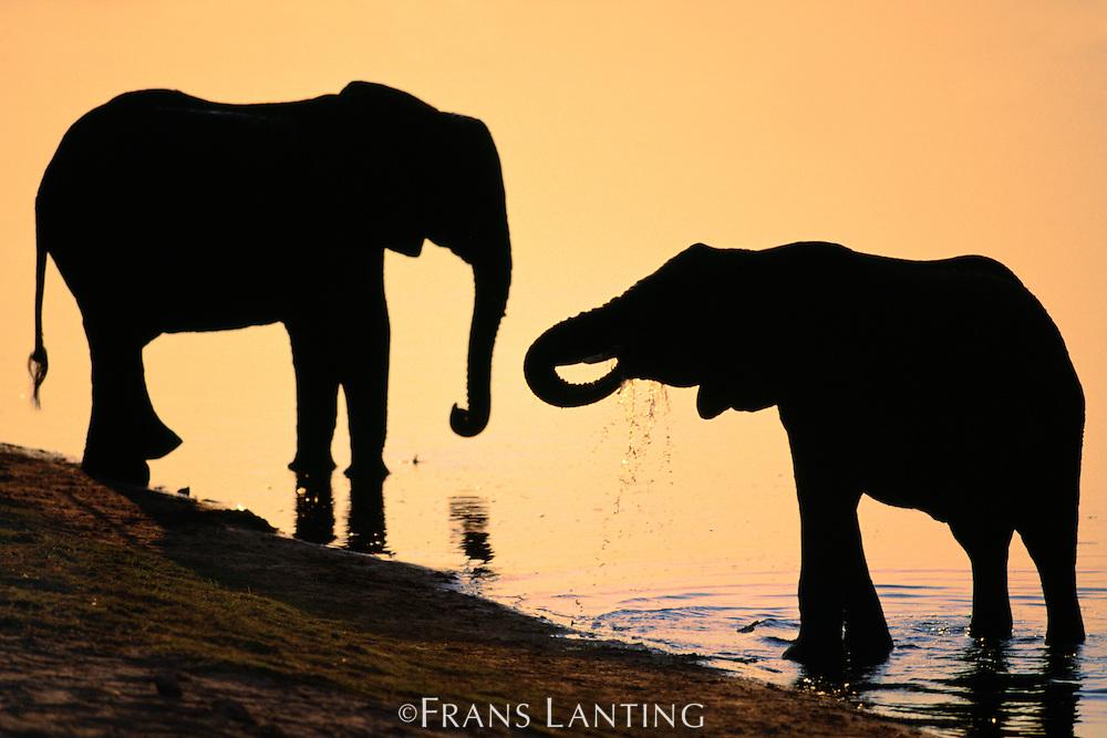 Elephants at river, Loxodonta africana, Chobe National Park, Botswana