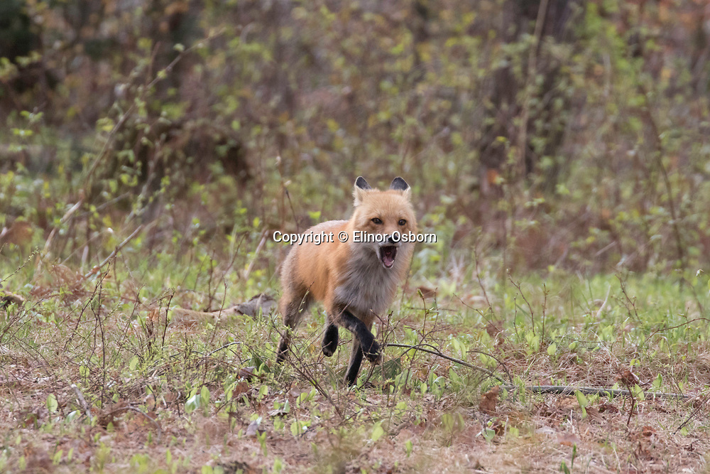 Red Fox barking at dog