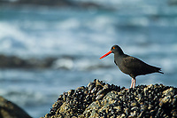 Image of Oystercatcher (Haematopus bachmani) in Redwood National Park, CA