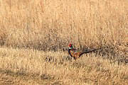 Rooster pheasant in spring breeding plumage