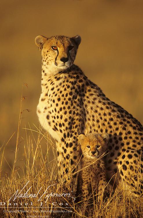 Cheetah (Acinonyx jubatus) mother and cub. Masai Mara National Reserve, Kenya, Africa