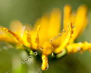 Dewdrops on wildflowers and spider silk, mountain meadow, © 2007 David A. Ponton