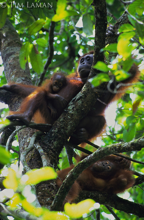 A female orangutan (Elizabeth) with her infant and older juvenile relax in a tree.