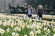 © Licensed to London News Pictures. 07/04/2015. Maidenhead, UK. People walk through a corridoor of daffodils. People enjoy the warm and sunny weather at Cliveden House in Maidenhead Buckinghamshire today 7th April 2015. Photo credit : Stephen Simpson/LNP