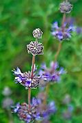 Flower, Cluster, Purple