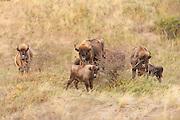 European Bison (Bison bonasus) herd standing in dune landscape of Kraansvlak