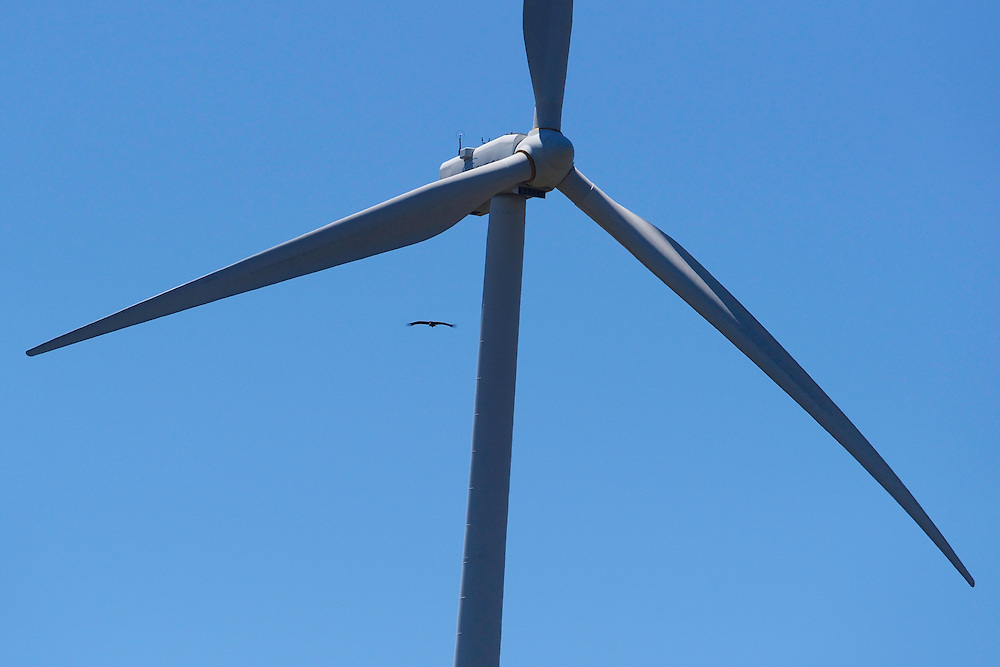 Black vulture just avoiding being hit by a wind turbine rotor, Wind farms, causing great risks for soaring raptors, like the Black vulture , Aegypius monachus, Sierra de Gata, Spain