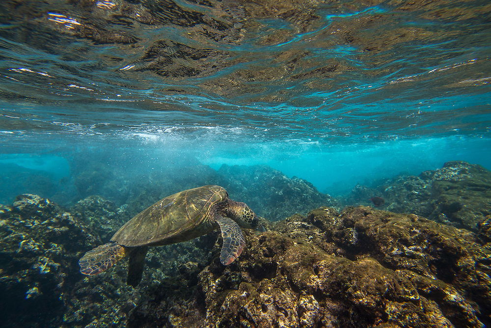 Green Turtles along the coast of Hawaii.