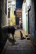 Honden kijken naar koe, India