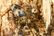 Four-Spotted Fungus Beetle (Ischyrus quadripunctatus)<br /> United States: Alabama: Tuscaloosa Co.<br /> Tulip Tree Springs off Echola Rd.; Elrod<br /> 15-Jun-2017<br /> J.C. Abbott #2960