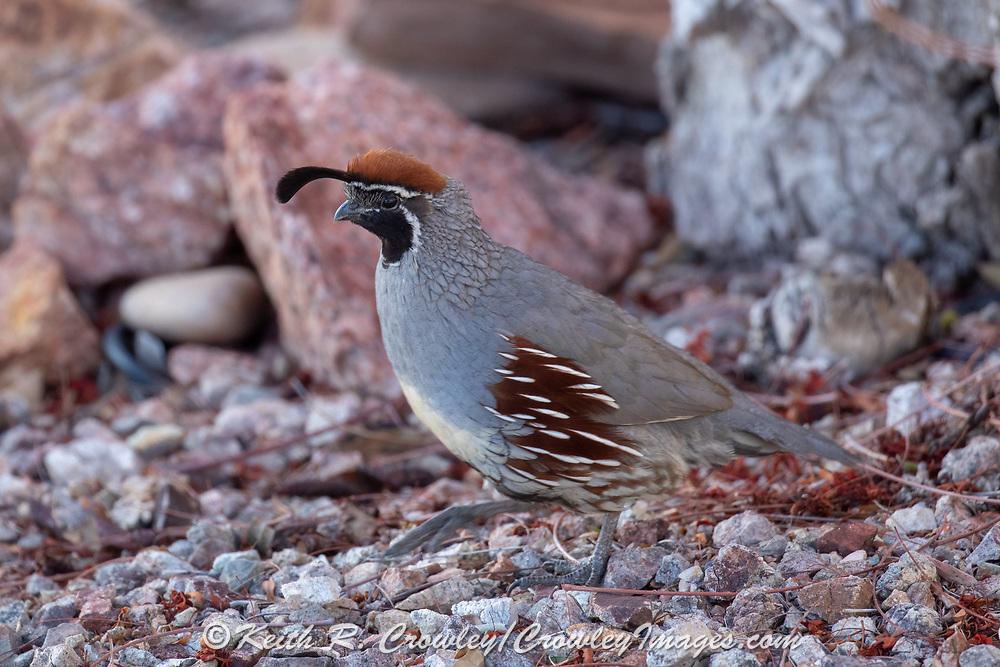 Gambels quail in desert habitat.