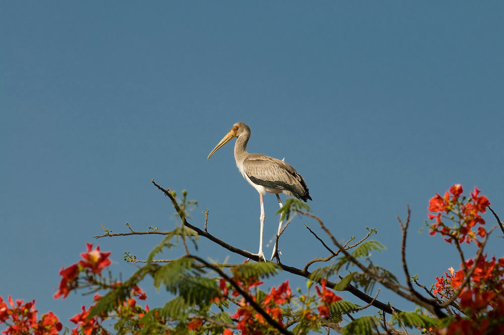 Baby stork standing on top of a trip, Nechisar National Park, Ethiopia,Africa