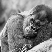 Soul Survival: Western Lowland Gorilla (Scientific name: Gorilla gorilla)<br />