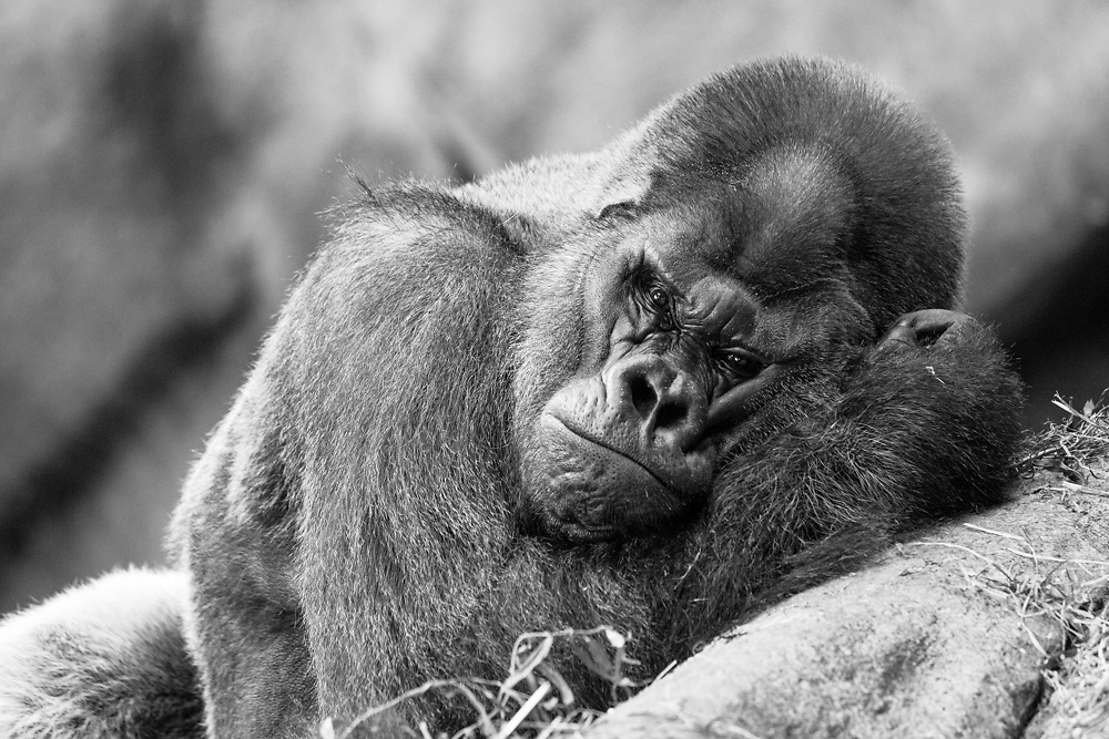 Soul Survival: Western Lowland Gorilla (Scientific name: Gorilla gorilla)<br /> Critically endangered/Species Survival Plan