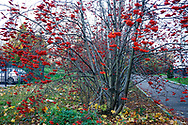Bright rowan berries on a tree. Moscow, Russia.