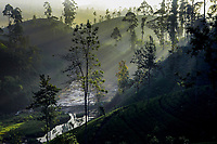 Light shining through tea plantation in Sri Lanka