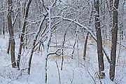Seine River Forest in winter.<br /> Winnipeg<br /> Manitoba<br /> Canada