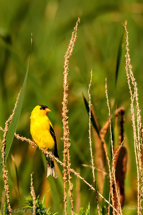 The American goldfinch (Spinus tristis) is a small migratory North American bird found from mid-Alberta to North Carolina during the breeding season, and from just south of the Canada&ndash;United States border to Mexico during the winter. It is a small finch, 11&ndash;14 cm (4.3&ndash;5.5 in) long, with a wingspan of 19&ndash;22 cm (7.5&ndash;8.7 in). It weighs between 11&ndash;20 g (0.39&ndash;0.71 oz). <br /> <br /> The song of the American goldfinch is a series of musical warbles and twitters, often with a long note.  <br /> <br /> The American goldfinch displays sexual dimorphism in its coloration with the male being a vibrant yellow in the summer as shown here, and an olive color during the winter.  The female is a dull yellow-brown, brightening only slightly during the summer.