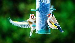 Birds feeding in the garden, 28/12/2014.