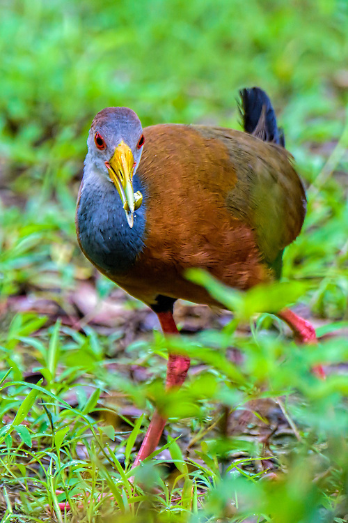 Virginia Rail - Rallus limicola<br />
