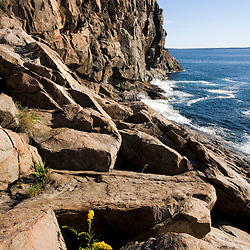 Goldenrod blooms in the rocks below the cliffs of Great Head in Maine's Acadia National Park.